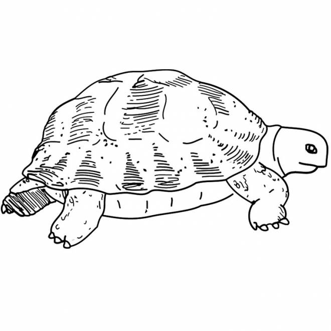 Free coloring and drawings Tortoise Coloring page