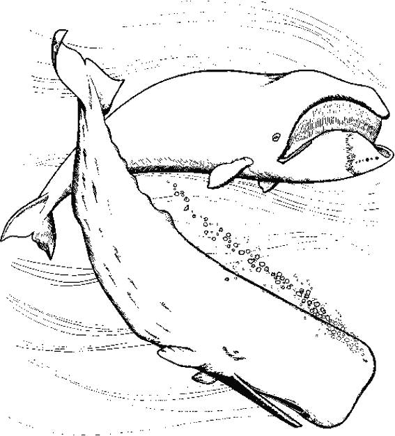 Free coloring and drawings Realistic whale Coloring page