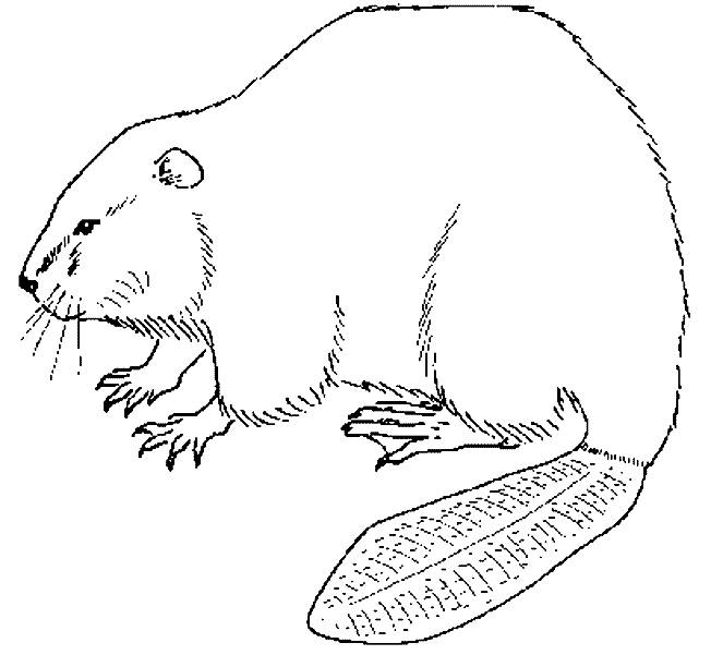 Free coloring and drawings Beaver in pencil Coloring page
