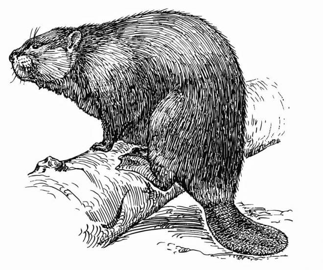 Free coloring and drawings Beaver in pencil on a branch Coloring page