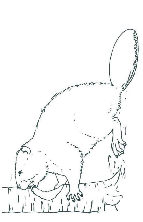 Free coloring and drawings Beaver works the wood Coloring page