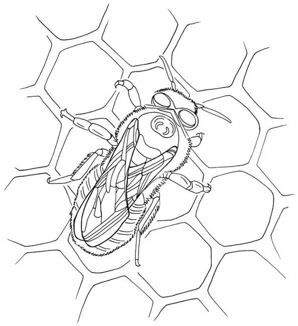 Free coloring and drawings Bee Cells Coloring page