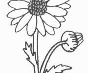 Coloring pages Marguerite in pencil