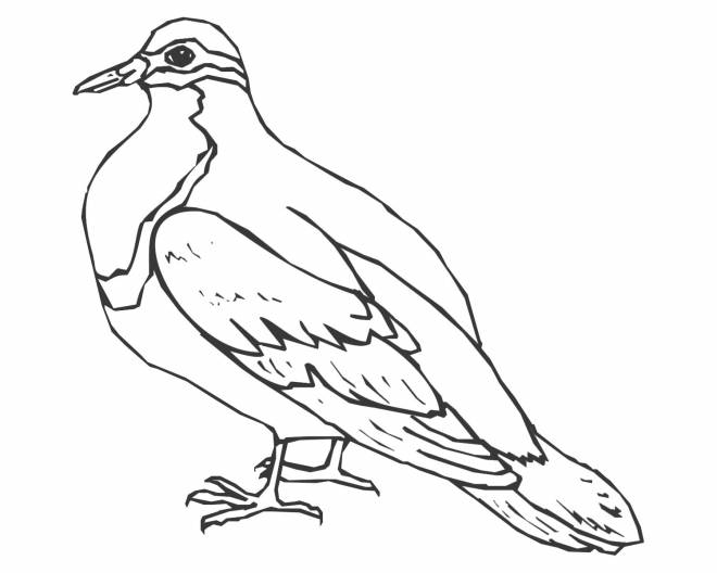 Free coloring and drawings Canadian dove Coloring page