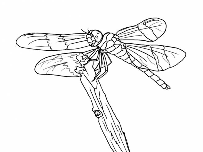 Free coloring and drawings Dragonfly 69 Coloring page