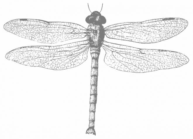 Free coloring and drawings Dragonfly 75 Coloring page