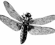 Coloring pages Dragonfly admirable