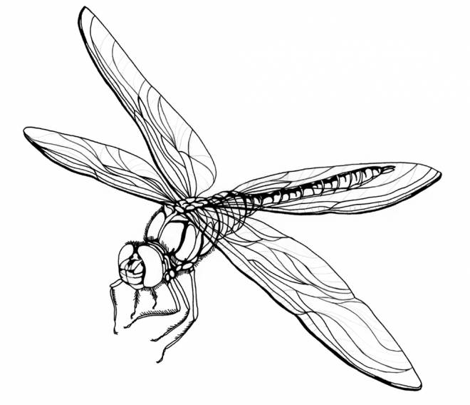 Free coloring and drawings Dragonfly for boys Coloring page