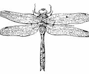 Coloring pages Dragonfly lovely