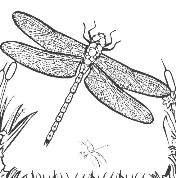 Free coloring and drawings Dragonfly printable easily Coloring page