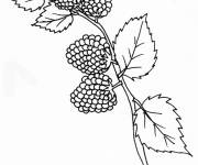 Coloring pages blackberries