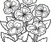 Coloring pages Cosmos Flowers