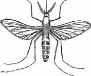 Coloring pages Adult Mosquito