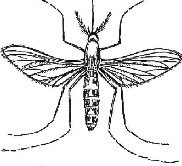 Free coloring and drawings Adult Mosquito Coloring page