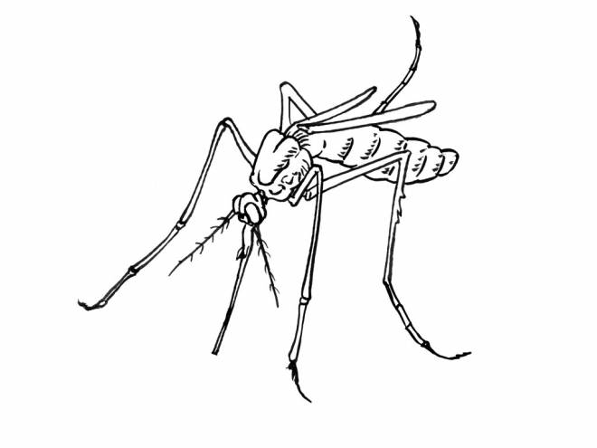 Free coloring and drawings Color mosquito Coloring page