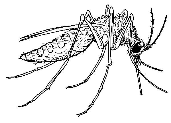 Free coloring and drawings Mosquito vector of disease Coloring page
