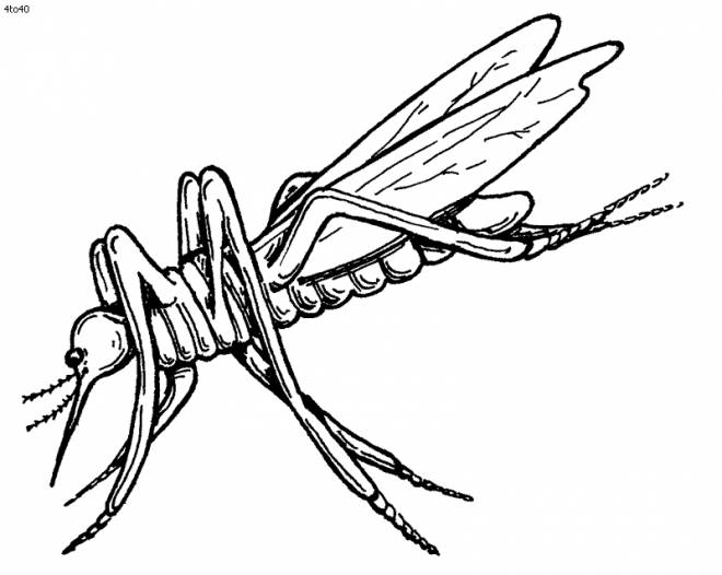 Free coloring and drawings Realistic mosquito insect Coloring page