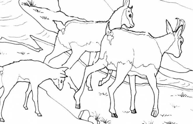 Free coloring and drawings Mountain goats Coloring page