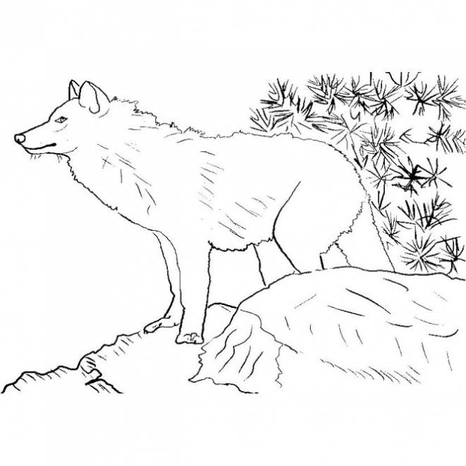 Free coloring and drawings Mountain wolf Coloring page