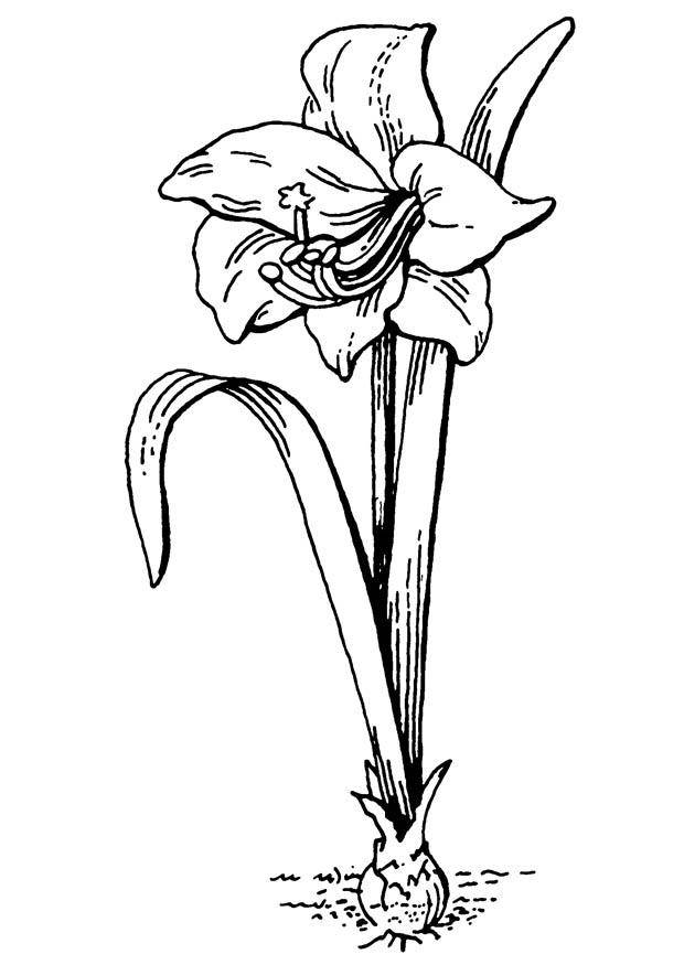 Free coloring and drawings Beautiful poppy Coloring page