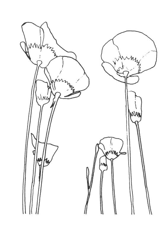 Free coloring and drawings Maternal poppy Coloring page