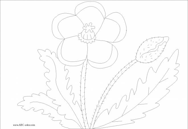 Free coloring and drawings Poppy and its leaves Coloring page