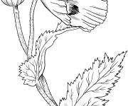 Coloring pages Poppy flower closed