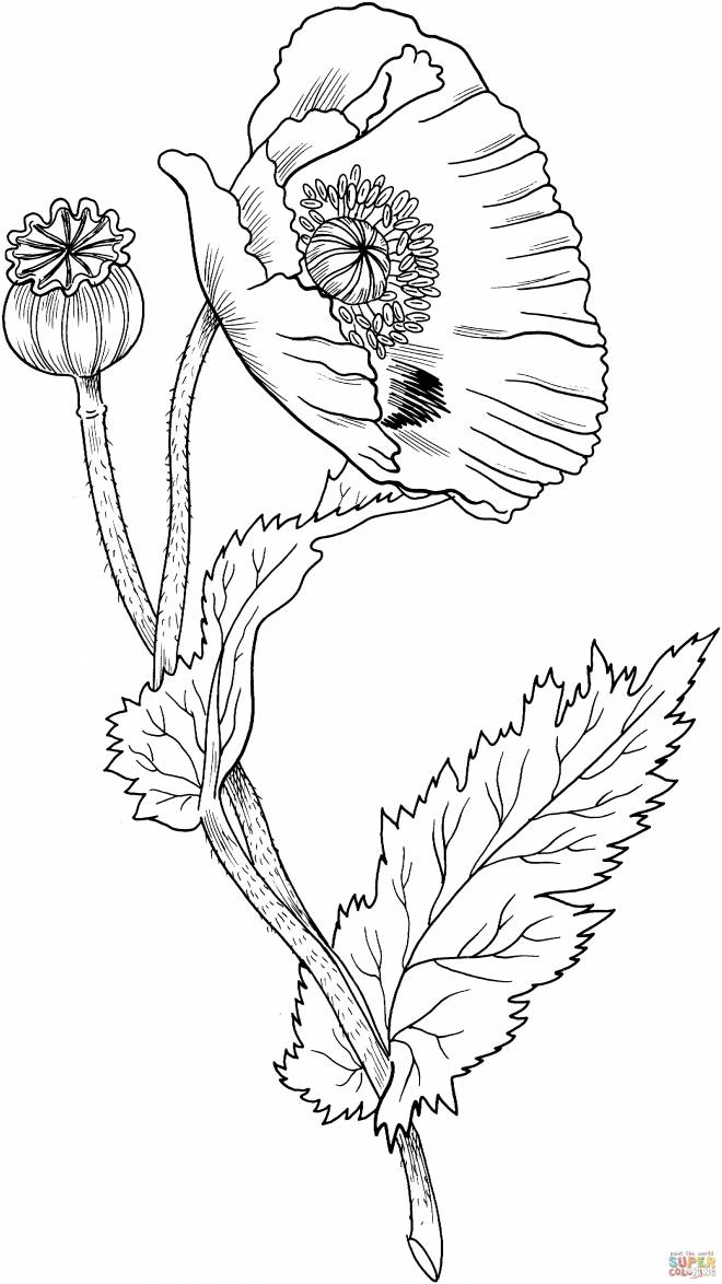 Free coloring and drawings Poppy flower closed Coloring page