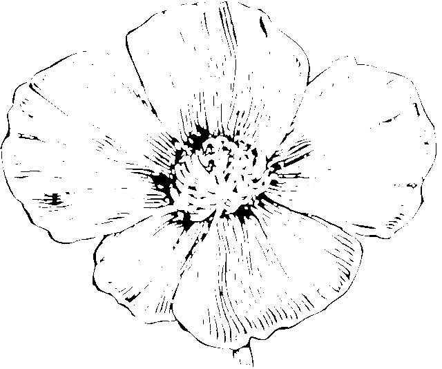 Free coloring and drawings Poppy flower in color Coloring page