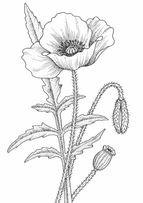Free coloring and drawings Poppy in pencil Coloring page
