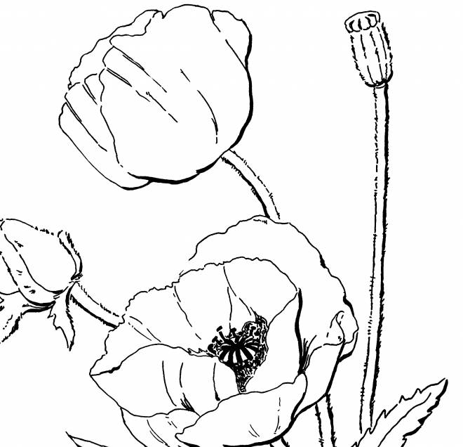 Free coloring and drawings Poppy in the Field Coloring page
