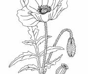 Free coloring and drawings Poppy plant Coloring page