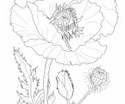 Coloring pages Realistic poppy