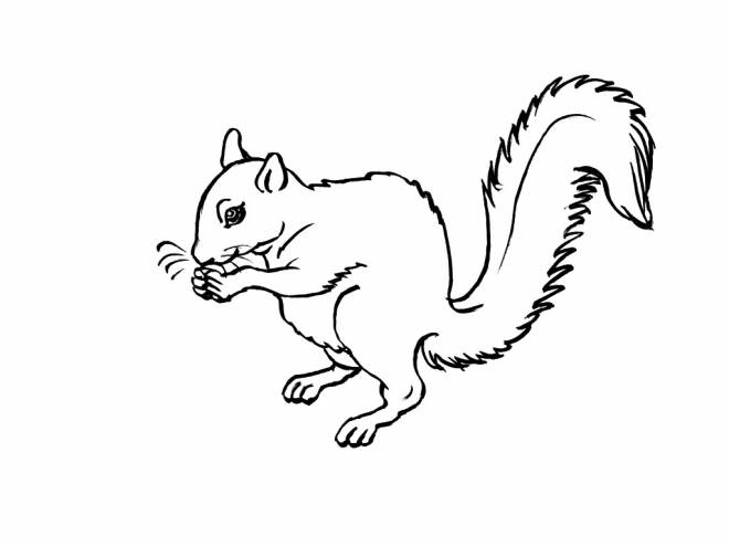 Free coloring and drawings A drawing of Squirrel to color Coloring page