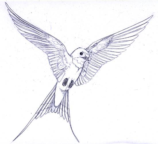 Free coloring and drawings Magnificent swallow Coloring page