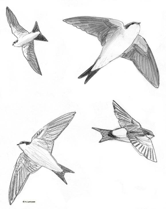 Free coloring and drawings Pencil swallow Coloring page