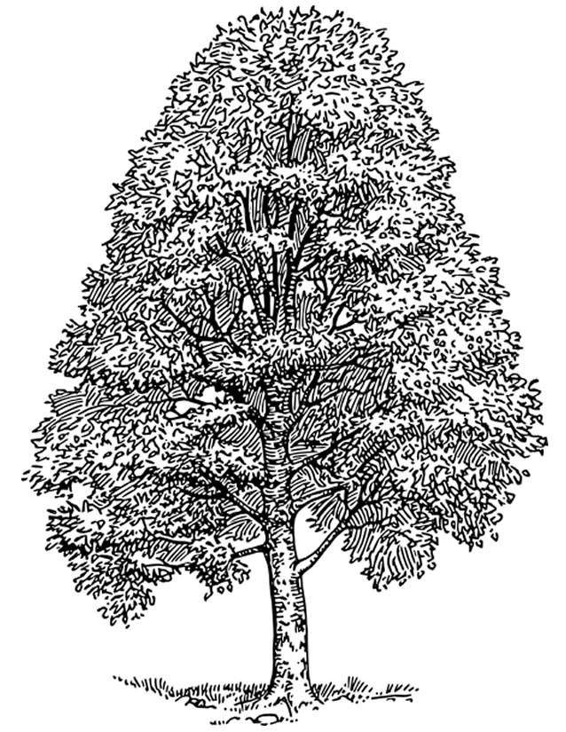 Free coloring and drawings Realistic tree Coloring page