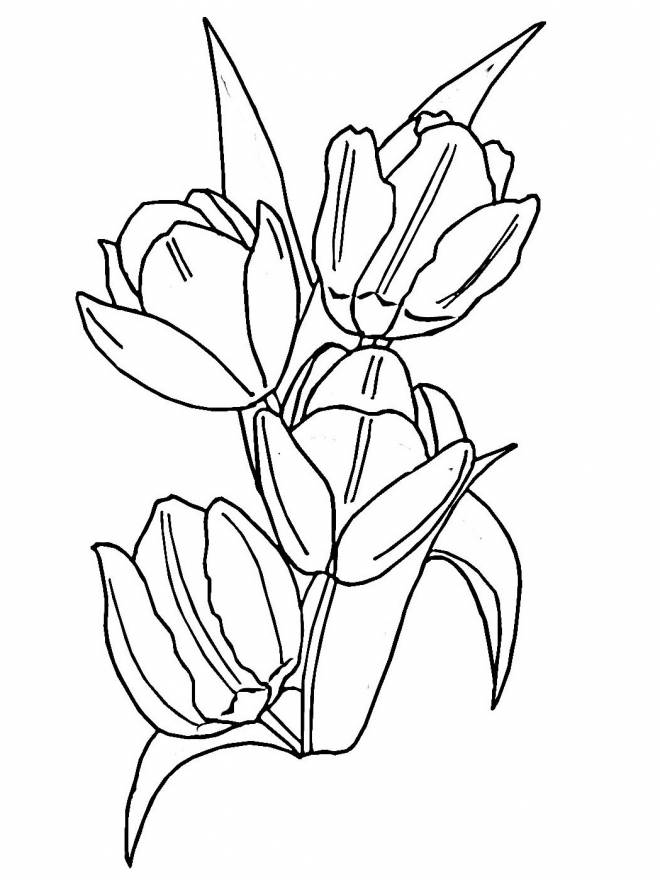 Free coloring and drawings A magnificent tulip that opens Coloring page