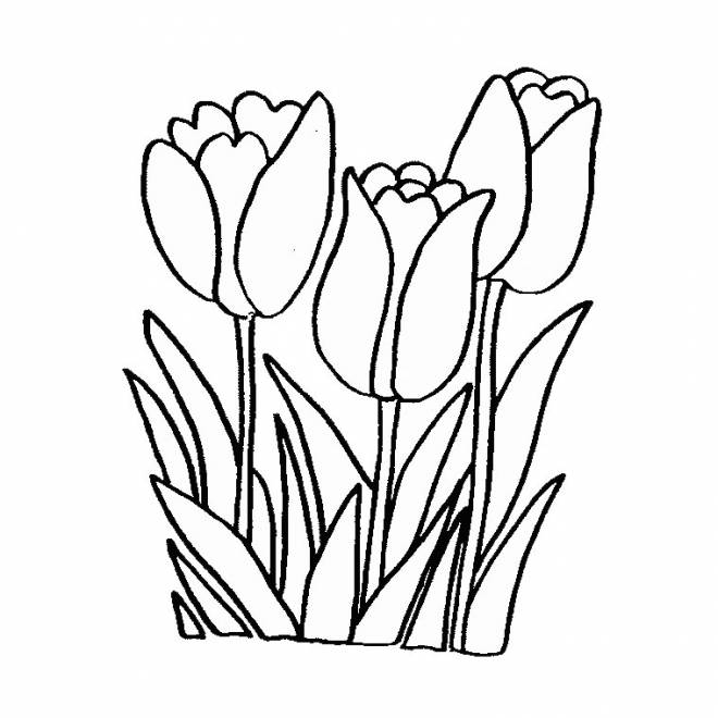 Free coloring and drawings Tulip flowers Coloring page